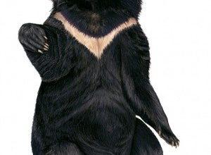 gimalajskij medved